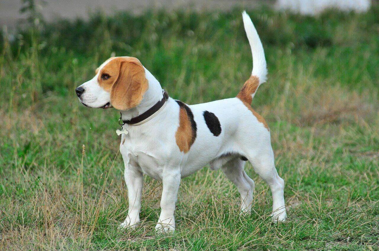 Beagle Puppy Standing