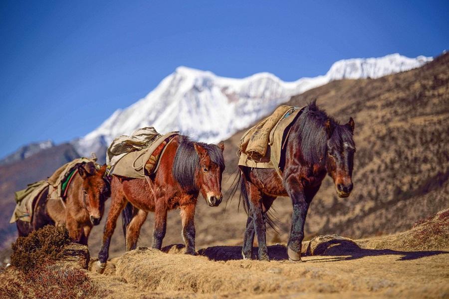Bhutia Horse