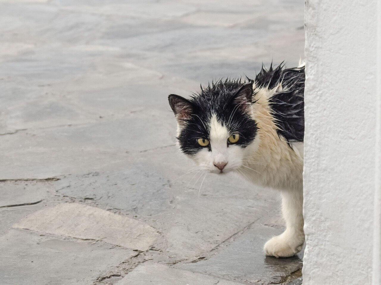 Cat with wet fur