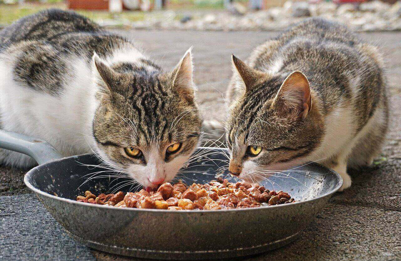 Cats Eating Food from Bowl