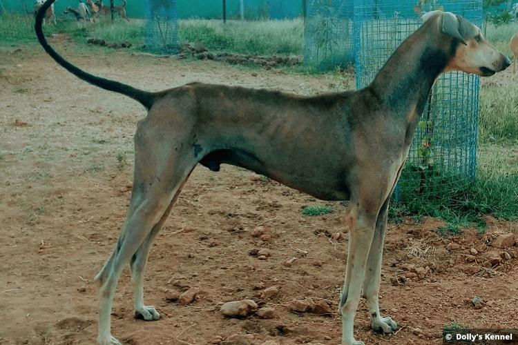 Chippiparai Dog