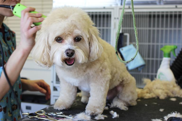 Dog Getting Hair Cut Using Dog Trimmer