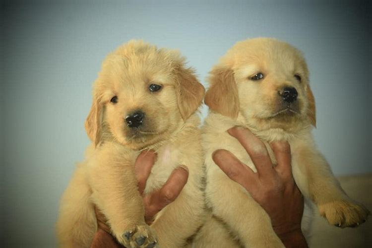Golden Retriever Male Puppy