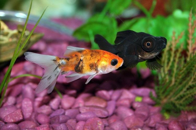 Goldfish with Tank Mate in Aquarium