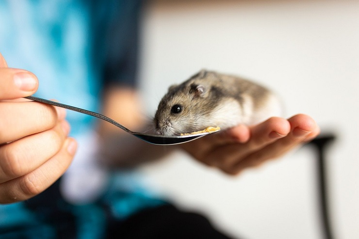 Hamster eating food from spoon