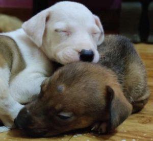 Indian Pariah Dog - Desi Dog Puppy