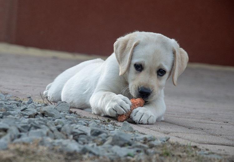 Labrador Puppy Eating Carrot