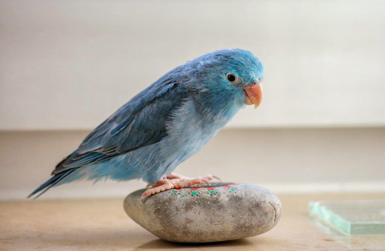 Parrotlet bird
