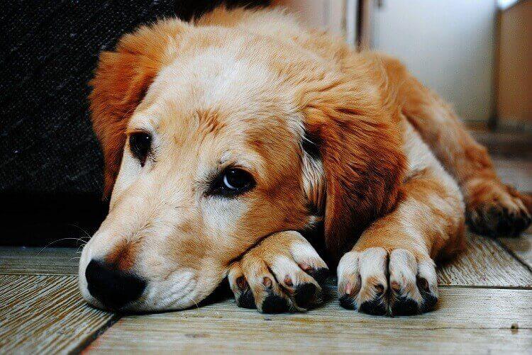 Sad Dog due to Ticks