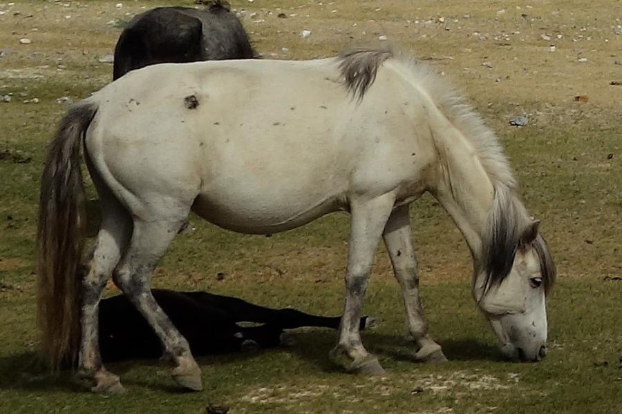 Spiti Horse Breed