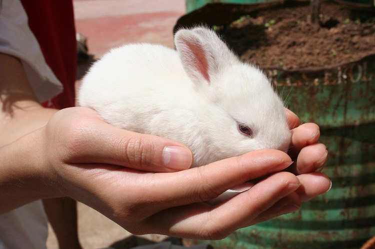 White Rabbit as Pet