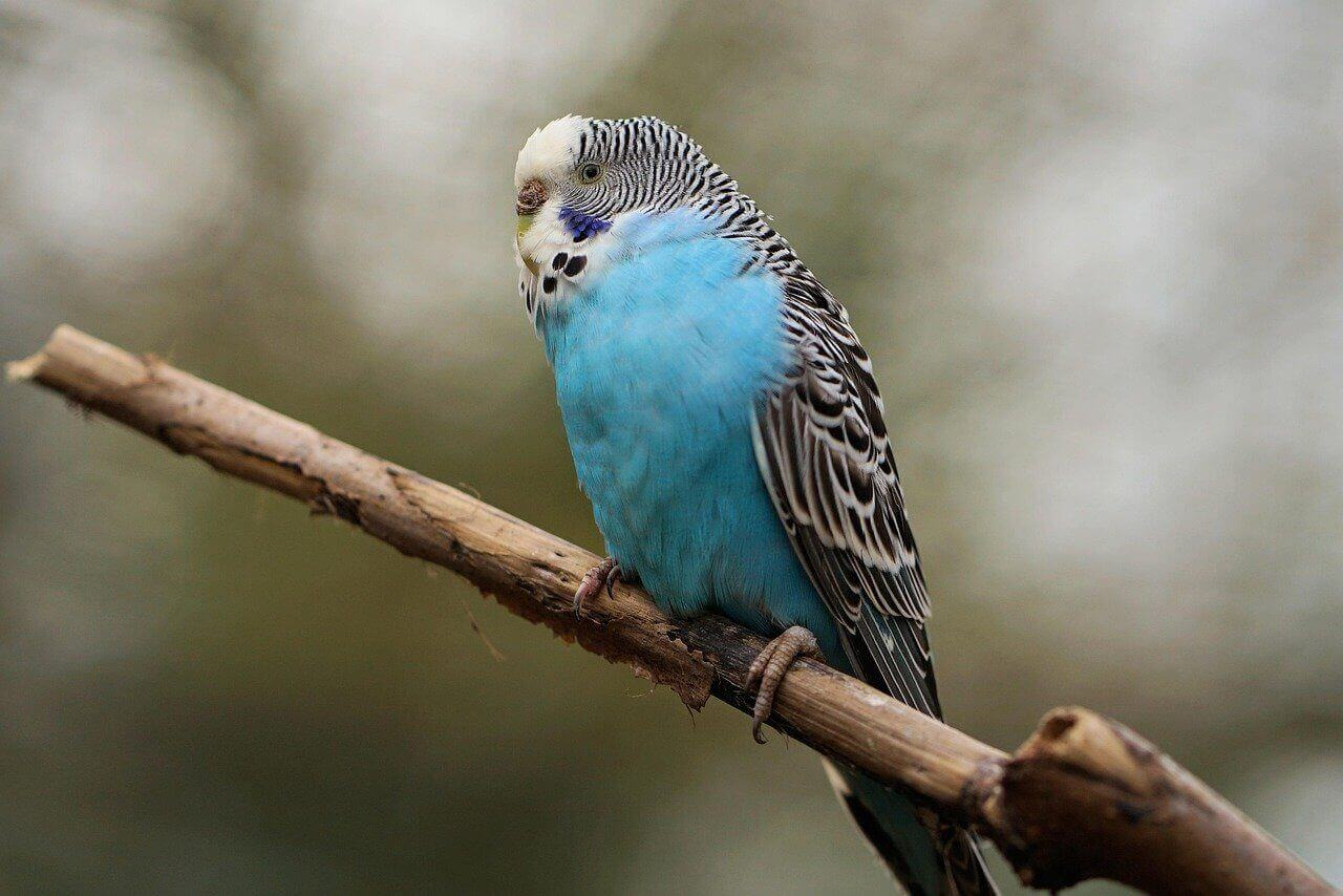 budgie parakeet bird